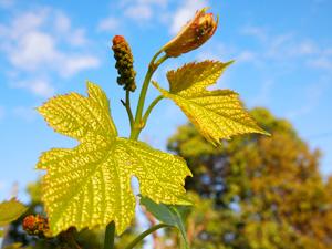 山梨の四季 ぶどうの芽