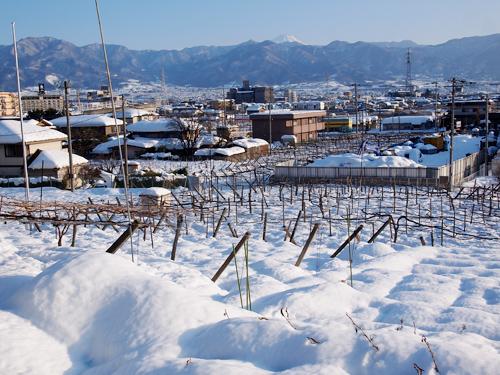 ブドウ畑は雪の中