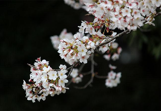 物部神社の桜
